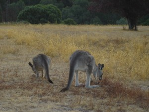 Kangaroos at pinnacle valley